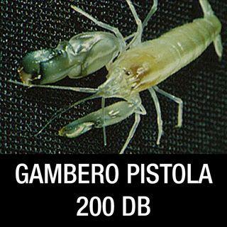 Il gambero Pistola produce oltre 200 dB
