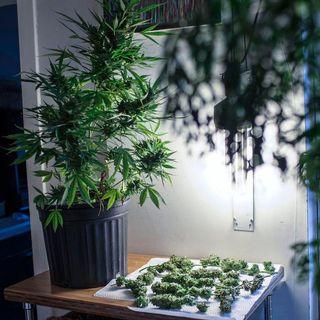 Autoproduzione di cannabis: adottato il testo base in Commissione Giustizia