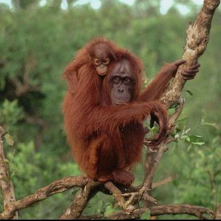 Youth Radio - Orangutan Talk
