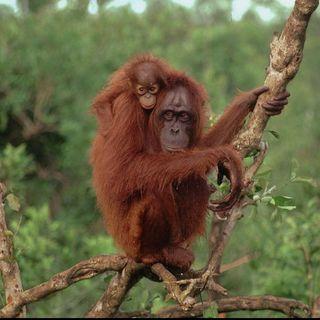 Youth Radio - Orangutan Talk
