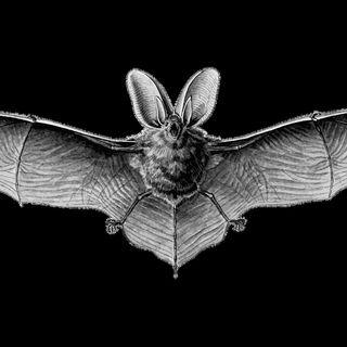 Il pipistrello e le donnole