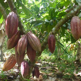 La moniliasis del cacao