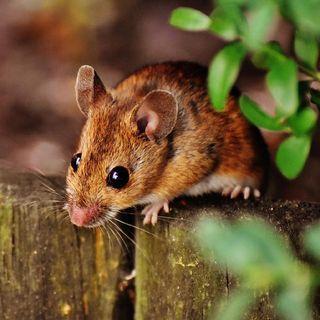 Il topo di città e il topo di campagna.