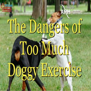 The Dangers of Too Much Doggy Exercise! - Dr Kersti Seksel Off-Leash Dangers