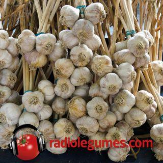 Col dur ou col mou, la culture de l'ail biologique est accessible