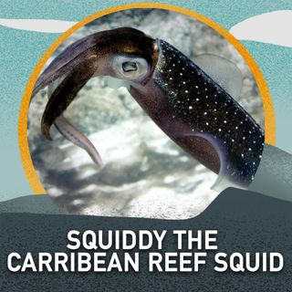 Squiddy the Carribean Reef Squid