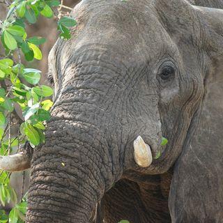 L'elefante girellone