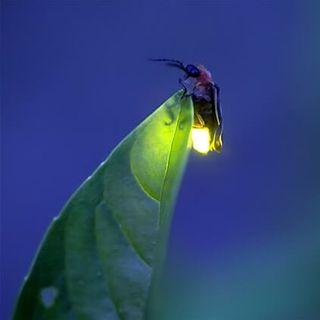 Divulgación - 22 - Santuarios de las luciérnagas en Tlalpujahua