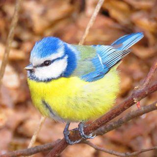 Gli uccellini cl1 (Maurizio)