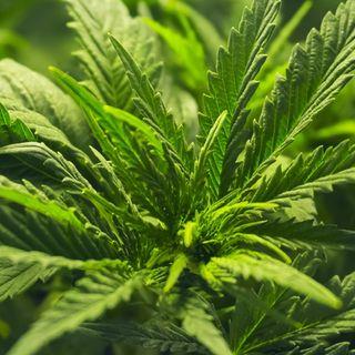 Uruguay realiza primera exportación de cannabis desde AL