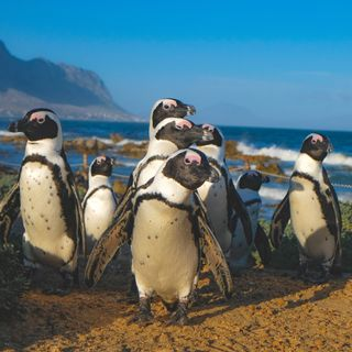 60 Seconds: Penguins for What Did They Say? What Did I Hear?