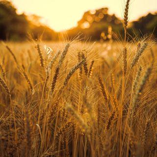 11/10/2021 - Cenário do trigo