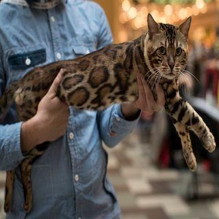 El Gato de Pinolillo