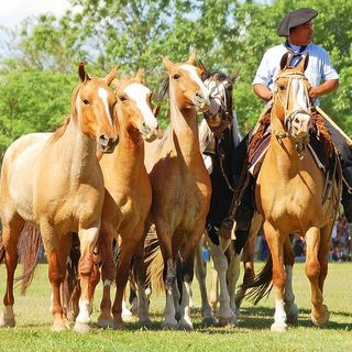 Criollo - Horses of Argentina
