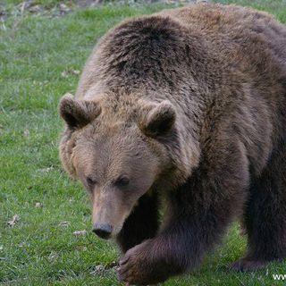 No hay osos en el monte Hemlock