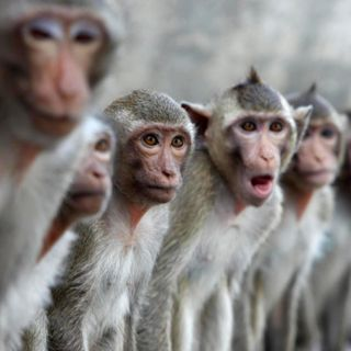 Macaque of the Clones