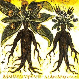 Mandragora, la pianta umana