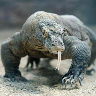 Il drago non è Komodo. L'isola chiude temporaneamente