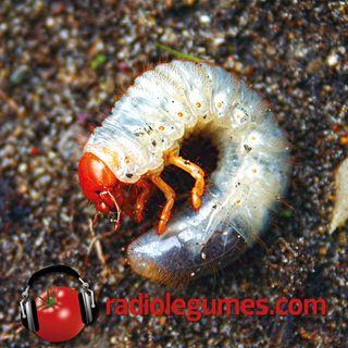 Vers blancs, scarabées et hannetons : un seul et même problème