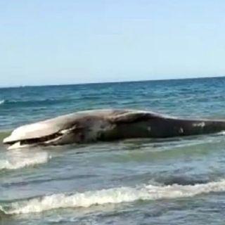 Localizan sin vida a ballena rescatada en playas de Puerto Peñasco