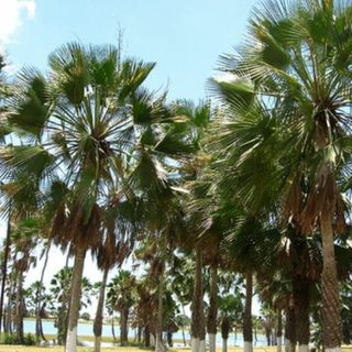 Carnaúba, a árvore da vida