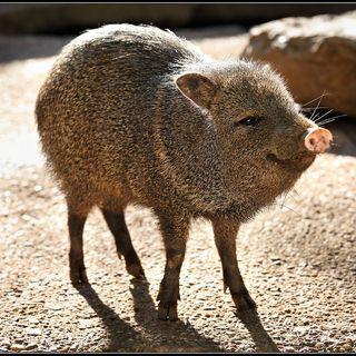 Tras Las Huellas de la Naturaleza: Los Pecaríes, Cerdos de la selva Americana