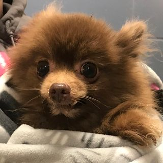 MSPCA Seeking Person Who Abandoned Pomeranian