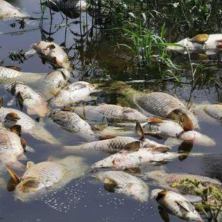 Por descargas residuales mueren cientos de peces