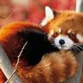 Cqpitulo III:El Panda Rojo