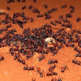 Las Hormigas segunda parte.  Biología. Tras las Huellas de la Naturaleza.