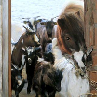 Radio Capra: la radio libera di tutte le caprette