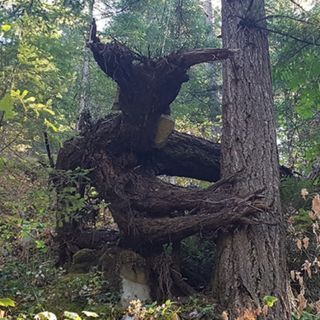 28 - L'albero più MEETAAL che esista. Nel senso che proprio vive mangiando metalli pesanti.