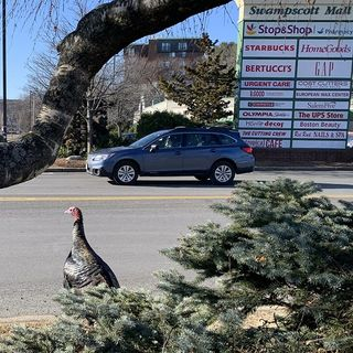 Swampscott's Vinny The Turkey: Local Celebrity, Traffic Nuisance