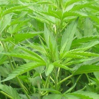 Cannabis in Canada - 05/12/14