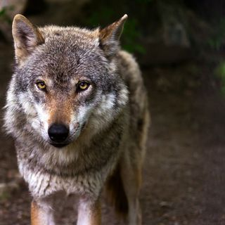 Endangered - Breve storia del lupo italiano