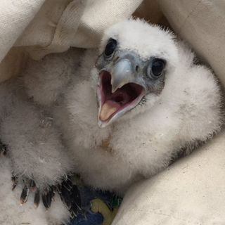 Peregrine Falcon Chicks Tagged In Woburn