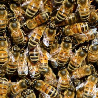 La abeja de la miel, una invasora de mucho cuidado | el charco #25