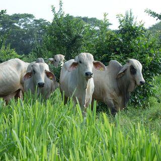 Importancia del bienestar animal en la ganadería bovina