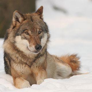 Tutto Qui - mercoledì 7 marzo - Per una miglior convivenza con il lupo in montagna