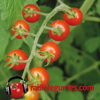 Édition spéciale: Tout ce que vous avez toujours voulu savoir sur la tomate sans jamais oser le demander!