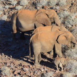 """Siccità, la Namibia mette in vendita 170 elefanti: """"Sono troppi e si avvicinano agli esseri umani"""""""
