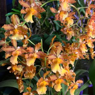 Orchid Chat With Dr. Connors