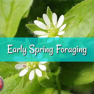 Early Spring Foraging with Herbal Prepper Live on PBN