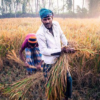 Riso fortificato contro la malnutrizione il Bangladesh alla sfida dei micronutrienti