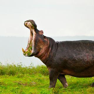 47 - L'Ippopotamo, l'animale che favorisce le foreste - Zoologia