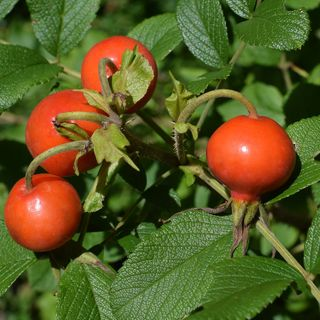DIY Garden Minute Ep56 Rose Hip Benefits