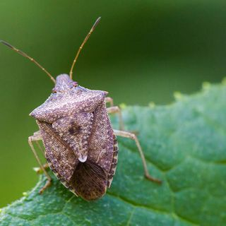 Doubts about the drought that kicked off our latest geological age, and a faceoff between stink bugs with samurai wasps