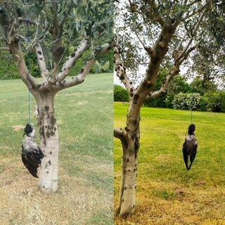 """Cornacchia impiccata ad un ulivo tra i campi. Lav Bassano: """"Atto barbaro e crudele"""""""