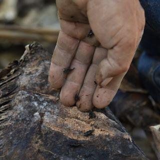 Reconocimiento de especies y daños asociados al complejo de picudo