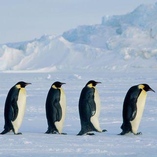 14_Emperor_Penguin